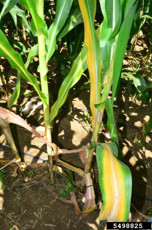 Yellowing on corn leaves caused by nitrogen deficiency
