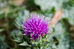 Milk Thistle flower in Templeton, CA