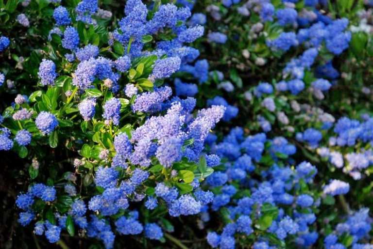 10 Beautiful Flowering Perennials For California Landscapes Wild
